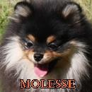 Molesse